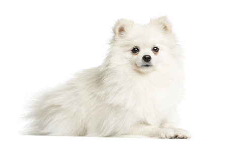 Spitz lying in front of a white background