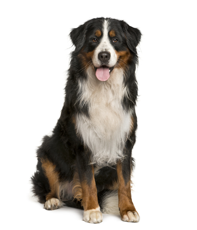 Bernese Mountain dog sitting in front of white background Stockfoto