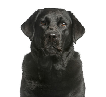 Close-up of a Labrador in front of a white background Фото со стока