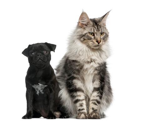 Resultado de imagem para maine coon and pug