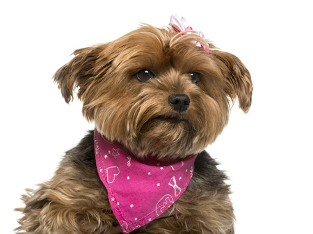 Close-up of a Yorshire terrier in front of white background Banque d'images