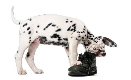 白い背景の前で靴を噛んでダルメシアンの子犬 写真素材
