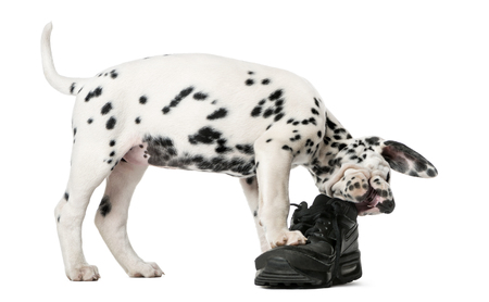 Dalmatian puppy chewing a shoe in front of a white background 스톡 콘텐츠