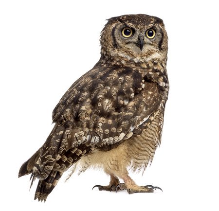 Spotted eagle-owl - Bubo africanus (4 years old) in front of a white background Stock Photo - 48870239