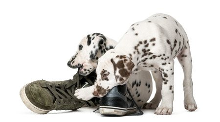 Two Dalmatian puppies chewing shoes in front of a white background 스톡 콘텐츠