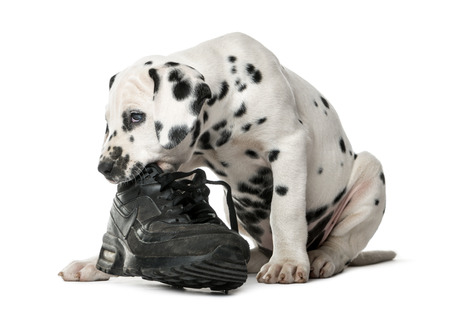 Dalmatian puppy chewing a shoe in front of a white background Stockfoto