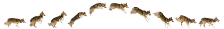 Composition of a Shetland Sheepdog jumping in front of a white background Imagens