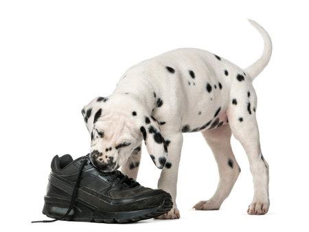 Resultado de imagen para 犬 dalmatian 噛む靴