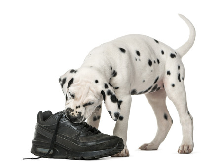 Dalmatian puppy chewing a shoe in front of a white background Banco de Imagens