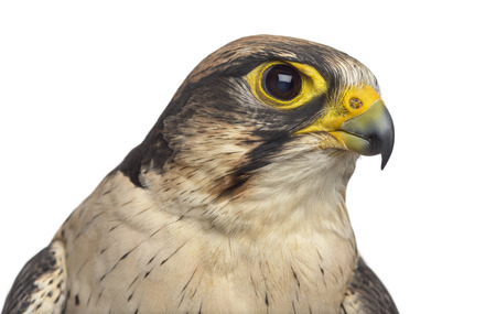 Close-up of a Lanner falcon - Falco biarmicus (7 years old) in front of a white background
