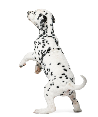 Dalmatian puppy standing up in front of a white background 스톡 콘텐츠