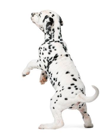 Dalmatische puppy opstaan ??voor een witte achtergrond Stockfoto - 48903964