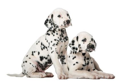 Zwei Dalmatiner Welpen vor einem weißen Hintergrund Standard-Bild - 48903934