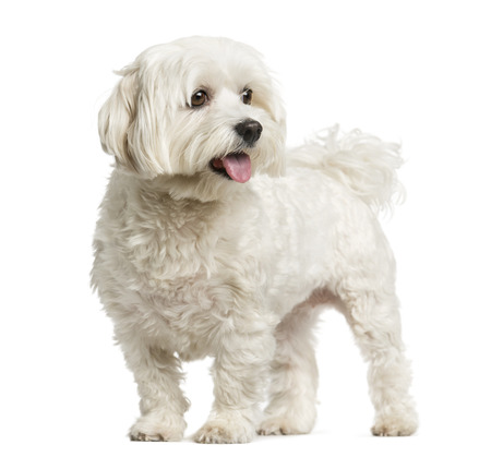 Maltese standing in front of a white background Stockfoto