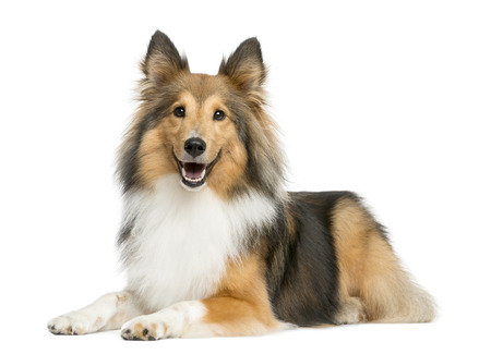 Shetland Sheepdog lying in front of a white background