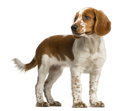 Welsh Springer Spaniel standing in front of a white background Stock Photo