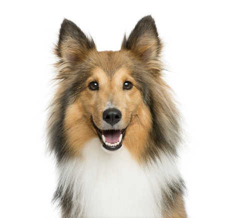 Close-up of a Shetland Sheepdog in front of a white background