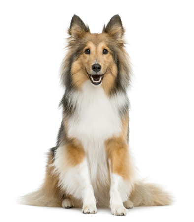 Shetland Sheepdog sitting in front of a white background Reklamní fotografie - 48903849