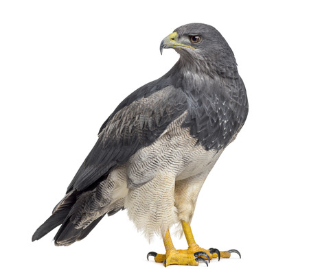 Chilean blue eagle - Geranoaetus melanoleucus (17 years old) in front of a white background Standard-Bild