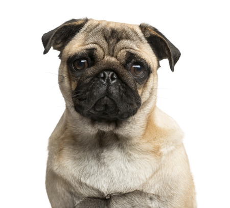 Close-up of a Pug in front of a white background 版權商用圖片 - 48903841
