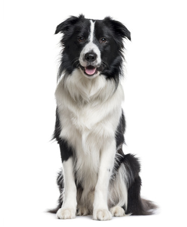 Border Collie sitting and looking the camera isolated on white