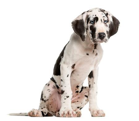 Great Dane chiot assis devant un fond blanc Banque d'images - 52988034