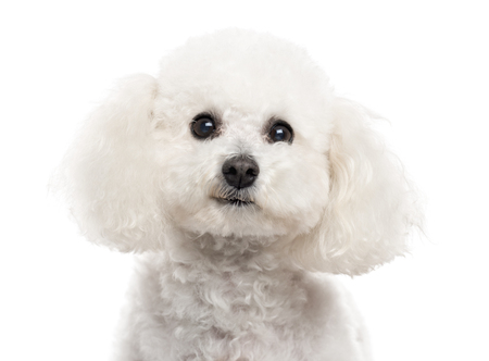 Close up of a Bichon Frise looking at the camera isolated on white (10 years old)