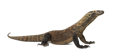 Komodo Dragon isolated on white (4 years old) Stock Photo