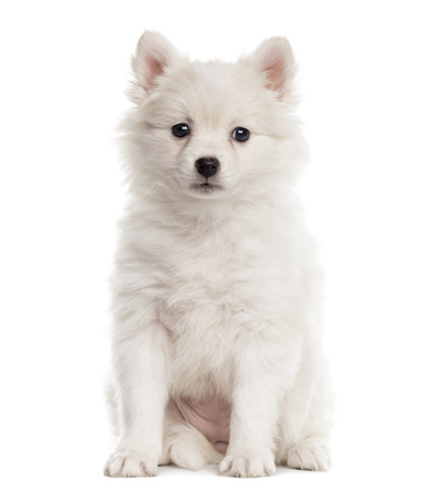 German Spitz puppy sitting and looking at the camera isolated on white (2 months old)