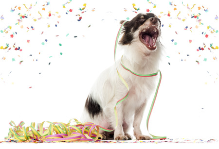 Chihuahua partying and yawming, isolated on white (1 year old)