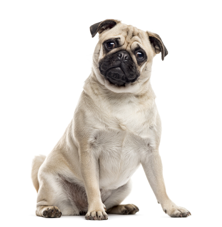 Pug sitting and looking at the camera, isolated on white Banque d'images