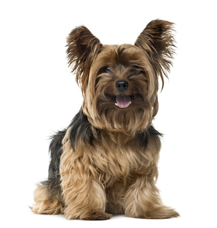 Yorkshire Terrier sticking the tongue out and looking at the camera, isolated on white (9 years old) Stockfoto