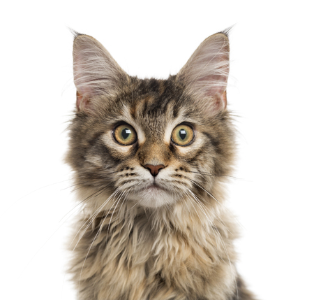 Close up of a Maine Coon kitten looking at the camera, isolated on white (5 months old) Stock fotó