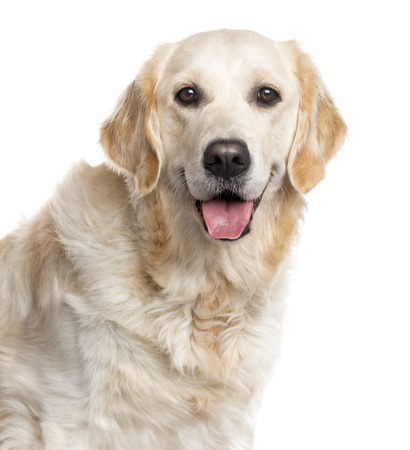 Close up of a Golden Retriever looking at the camera and sticking the tongue out, isolated on white (2 years old)