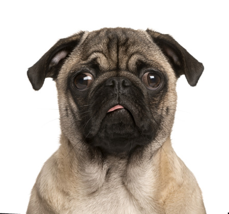 Pug puppy looking at the camera, sticking the tongue out and making a face, isolated on white (5 months old) Archivio Fotografico