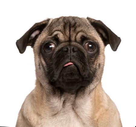pug cachorro mirando a la cámara, sacar la lengua y haciendo una cara, aislado en blanco (5 meses de edad) Foto de archivo