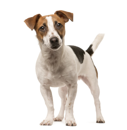 Jack Russell standing up and looking at the camera, isolated on white 스톡 콘텐츠