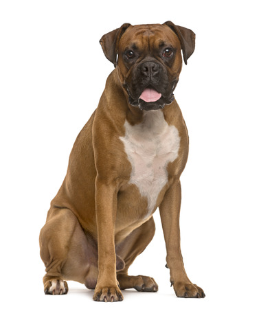 Boxer looking at the camera and sticking the tongue out, isolated on white 스톡 콘텐츠