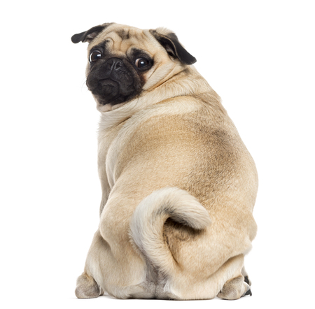 Rear view of a Pug sitting and looking at the camera, isolated on white (1 year old) Archivio Fotografico