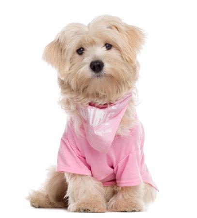 perrito maltés vestido, sentado y mirando a la cámara (8 meses)