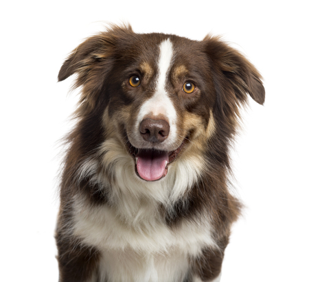 Close up of a Border Collie sticking the tongue out and looking at the camera, isolated on white (3 years old)