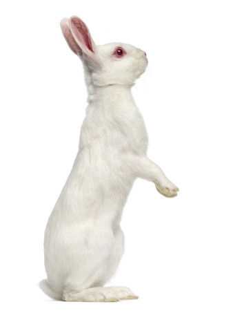 White albino hare on his hind legs isolated on white Stockfoto