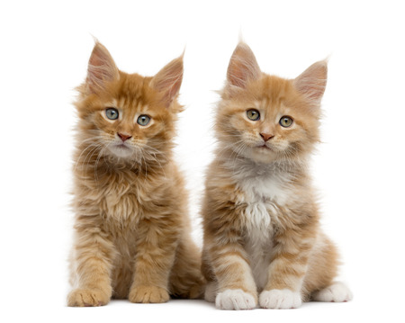 Couple of a Red Maine coon kitten sitting and looking at the camera, isolated on white
