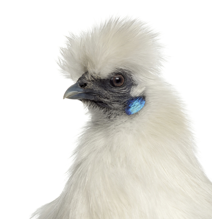Close up of a White Silkie Hen isolated on white Banco de Imagens