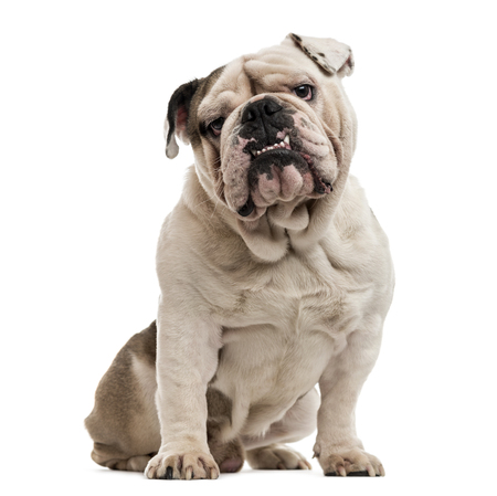English Bulldog sitting and looking at the camera, isolated on white 스톡 콘텐츠