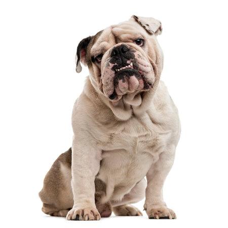 Bulldog Inglés sentado y mirando a la cámara, aislado en blanco Foto de archivo