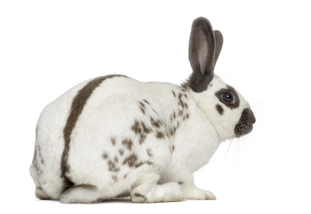 Volver la vista de un conejo Negro fuego aislado en blanco