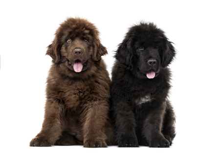 Couple of Newfoundland puppy looking at the camera and sitting, isolated on white Stock Photo