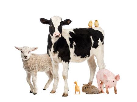 Grupo de animales de granja aislada en blanco Foto de archivo