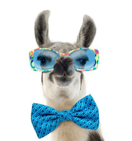 Portrait of a Lama - Lama glama wearing sunglasses, isolated on white